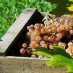 Vinícola em São Roque celebra a colheita das uvas